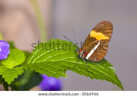 Postman Butterfly is resting on leaf with soft background