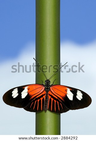 Postman Butterfly on stem