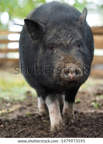 Pot-bellied pig. Portrait of a pig. The concept of breeding pigs, veterinary