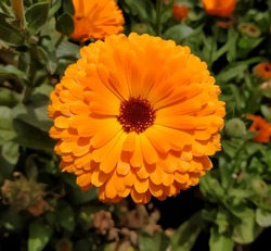 Pot marigold: a species of Daisy, also known as Common marigold, Hen-and-chickens, Garden marigold, Ruddles, it's botanical name is Calendula officinalis.