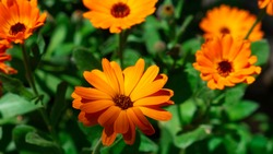 Pot marigold a species of Daisy, also known as Common marigold. Orange flowers with green leaves - Garden marigold. Botanical name is Calendula officinalis.