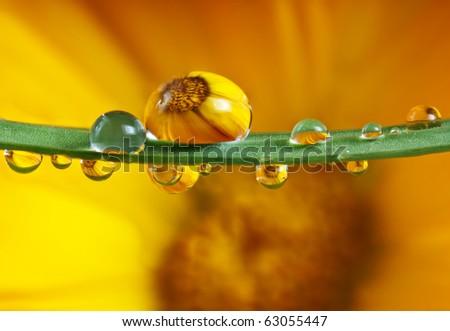 pot marigold flower mirroring inside water drops - stock photo