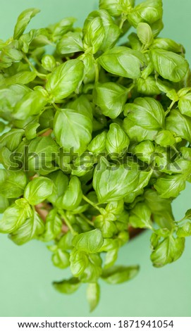 Pot of basil from above. Studio photo isolated on green background. Selective focus on object Zdjęcia stock ©