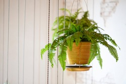 Pot of hanging Boston fern