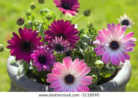 Pot of pretty pink Osteospermum (African daisy)