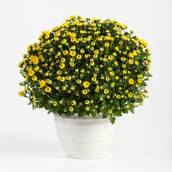 Pot of yellow flowering chrysanthemums for indoor decoration in autumn and early winter in a plain white flowerpot over a white background