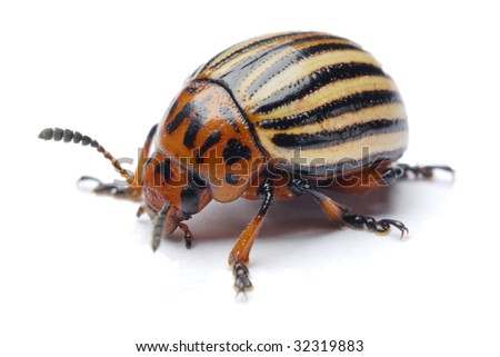 potato beetle on a white background