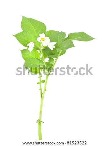 Potato bloom isolated on white background
