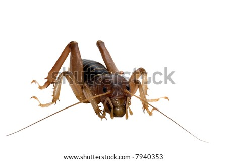 Potato Bug isolated on white.