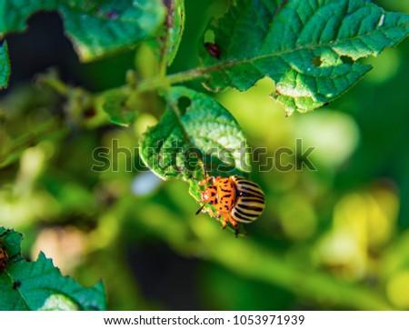 Potato bugs on green leaves of potato bush. Insects pests eats potato leaves. Colorado beetle close-up image.