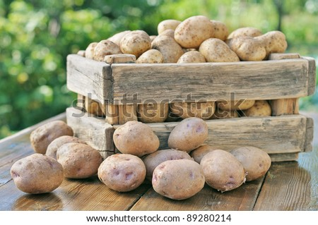 Potato crop in a wooden box. Against the backdrop of a green garden.