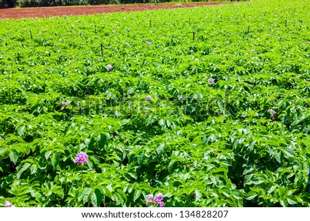 potato fiel with a lot of plants with flowers