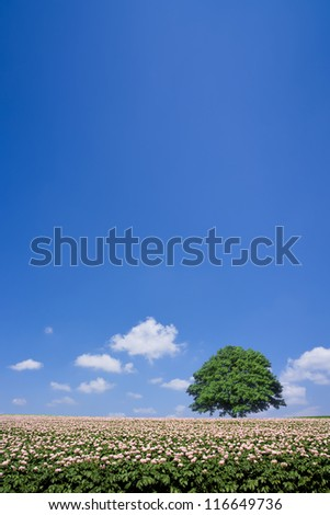 potato field and lone tree