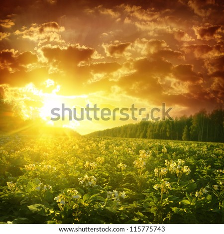 Potato field at sunset.