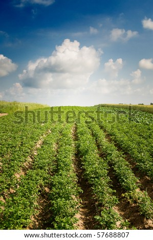 Potato field by summertime.