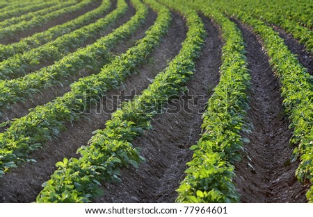 Potato field in the early evening sunlight