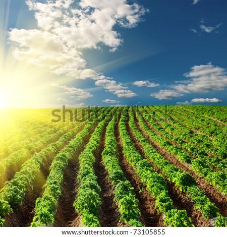 potato field on a sunset under blue sky landscape - stock photo