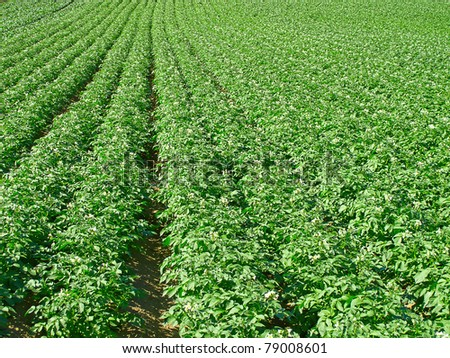 Potato field under bright summer sun