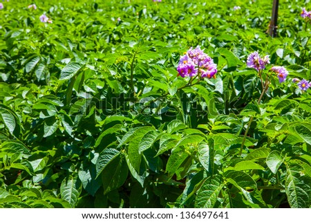 potato field with a lot of plants with flowers