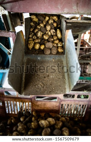 Potato harvest. Loading freshly harvested potatoes into boxes in a farm storage. #1567509679