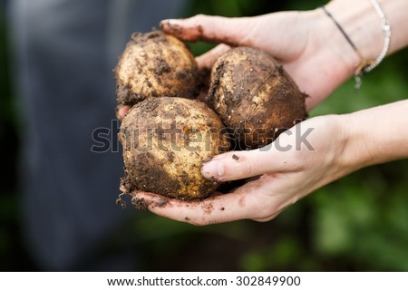 Potato harvesting. Female hands holding potatoes straight from the field. Locavore, clean eating,organic agriculture, local farming,growing concept. Selective focus