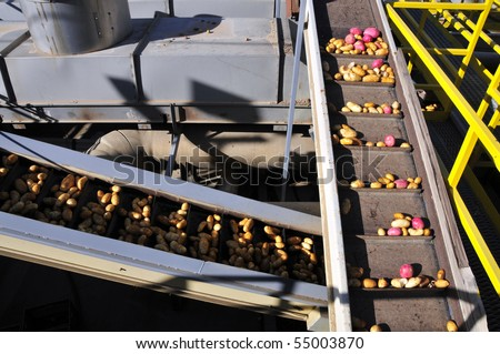 Potato packing plant: Potatoes are handled on a labyrinth of conveyors to be washed, culled, sorted and packed