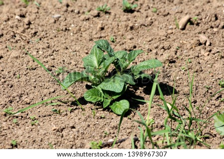 Potato plant with thick dark green leathery leaves growing in local garden surrounded with dry soil and grass on warm sunny spring day