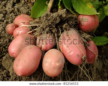 potato plant with tubers digging up from the ground