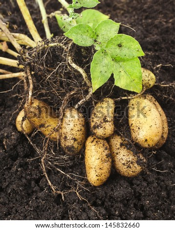 potato plant with tubers in soil dirt surface