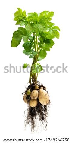 Potato plant with tubers on white background Foto stock ©