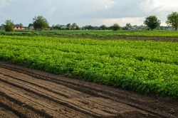 Potato plantation and a field with loosened soil. Loose crushed moist soil after cultivating. Loosening surface, land cultivation. Agribusiness farming. Beautiful countryside farmland.