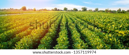 Potato plantations grow in the field. vegetable rows. farming, agriculture. Landscape with agricultural land. crops. Banner #1357119974