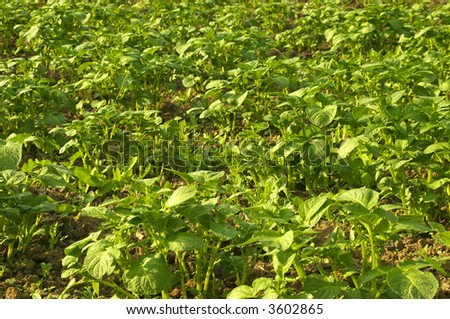 Potato plants in sunset - stock photo
