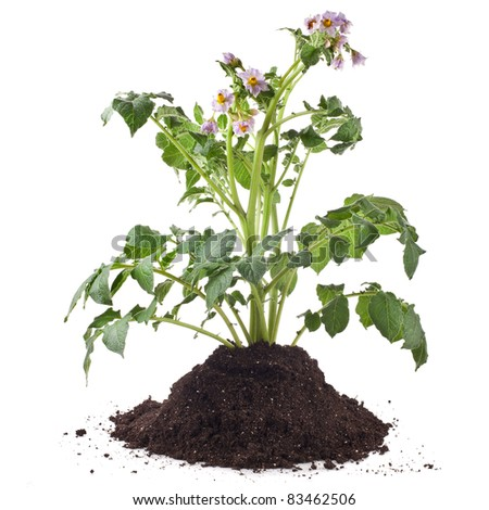potato sprout plant in soil dirt pile isolated on white - stock photo