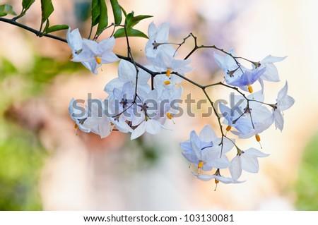 Potato Vine Flower Solanum jasminoides, botanic garden - stock photo