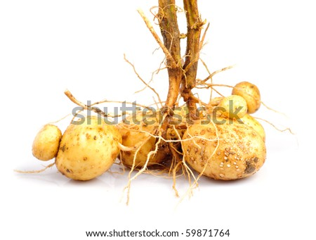 Potato with root close up isolated on white