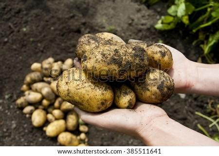 Shutterstock Potatoe harvest