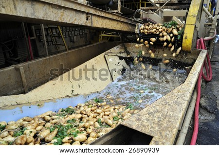 Potatoes arrive at California packing plant on trucks and are then transferred to conveyors to be washed