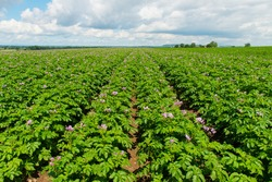 potatoes plant with purple flowers in field with blue sky and white clouds in summer sunshine