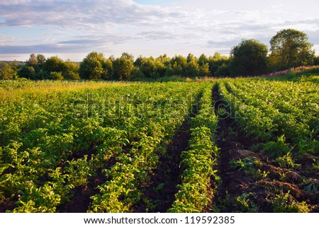 Potatoes plantation with a sunset light