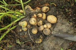 potatoes with stems and roots, diggered out with old hovel. farming detail. organic natural food