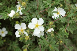 Potentilla fruticosa L. (Abbotswood), outdoor plants 2020