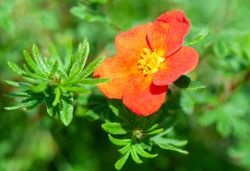 Potentilla  Fruticosa Red Ace a summer flower plant known as cinquefoil