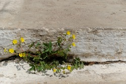Potentilla is a species of plant in the Rosaceae family. Yellow, bright paw flowers sprouted between the concrete slabs.