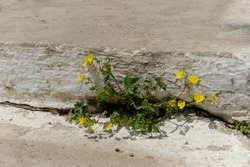 Potentilla is a species of plant in the Rosaceae family. Yellow, bright paw flowers sprouted between the concrete slabs. Selective focus.