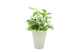 pothos pearls and jade devil ivy plant in white pot with white isolated background