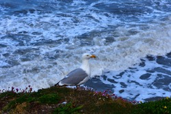 Potrait of a lonely seagull standing on a rock while the rough north sea shows his waves. Next to the bird are somer flowers.
