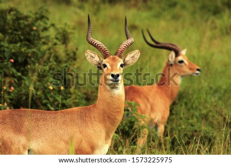 Potrait of a Uganda Kob buck. They are only found in limited areas of Uganda owing to excessive hunting and loss of habitat #1573225975