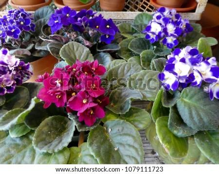 Pots of African violets #1079111723