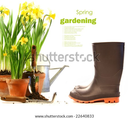 Pots of daffodils with rubber boots on white background